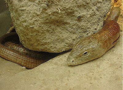 Giant Legless Lizard picture