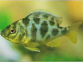 Image Gallery Spotted Cichlid