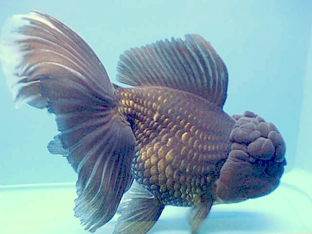 Goldfish - Red and Black Oranda :: Pets site :: Pets ...