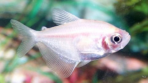 Tetra - White Skirt :: Pets site :: Pets information